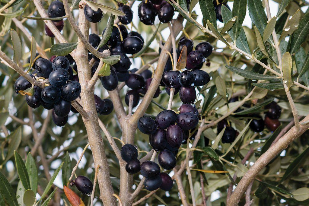 trilye zeytin ağacı ile ilgili görsel sonucu