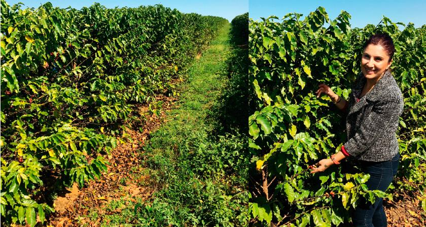 Toprağın kimyası, iklim, yağmur ve güneş ışığının miktarı, kahve üretiminde kaliteyi belirleyen faktörler.