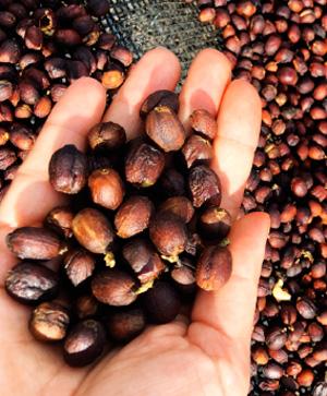 Tropikal bir bitki olan kahve, nemli ve serin tropikal iklimde yetişiyor.